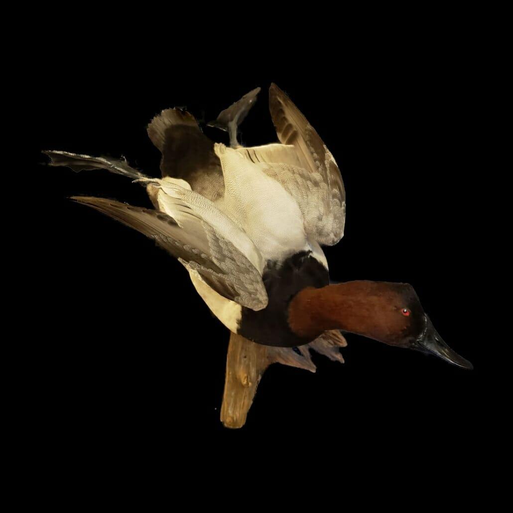 Canvasback Duck Mounts   Texas Waterfowl Taxidermy   Canvasback Drake Mount   Diver Duck Mounts