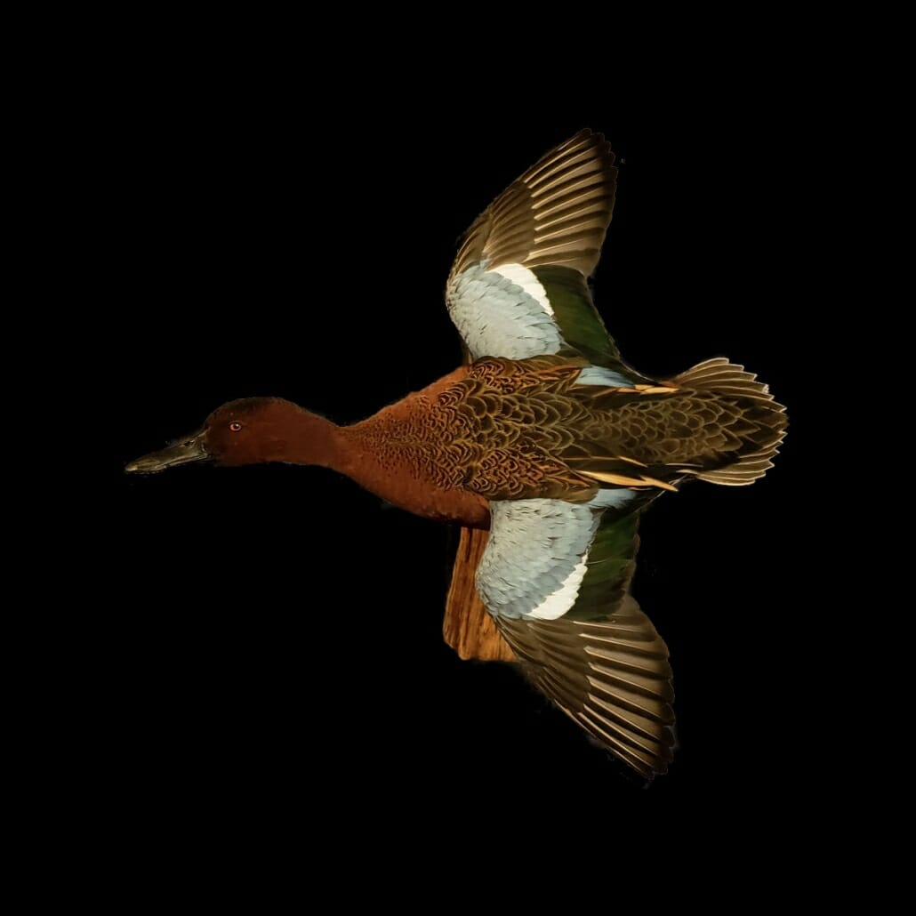Cinnamon Teal Mount | Puddle Duck Mounts | Texas Waterfowl Taxidermy
