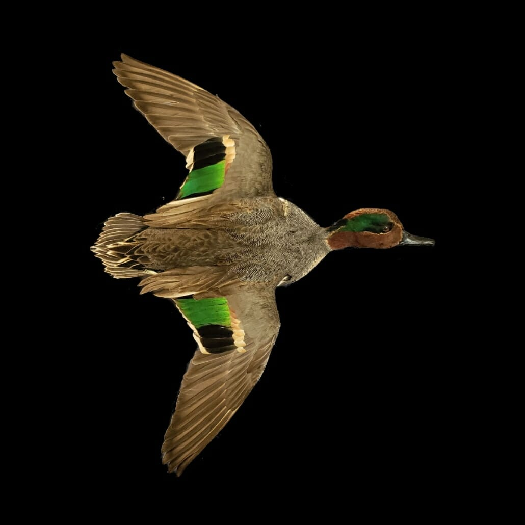 Green Wing Teal Duck Mount | Texas Waterfowl Taxidermy