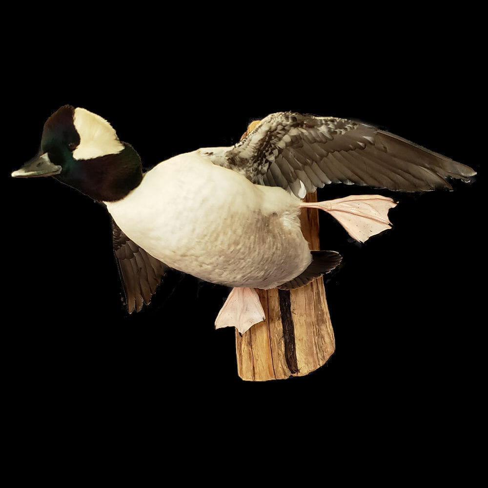Bufflehead Duck Mounts | Diver Duck Mounts | Texas Waterfowl Taxidermy