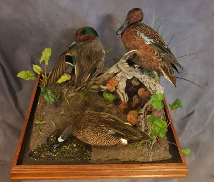 Green Wing Teal Mount | Texas Waterfowl Taxidermy