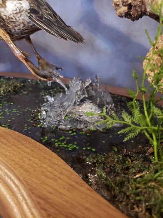 Cinnamon Teal Mount | Texas Waterfowl Taxidermy