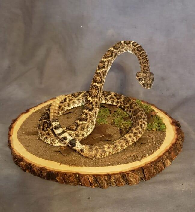 Life Size Rattlesnake Mount | San Antonio Taxidermy