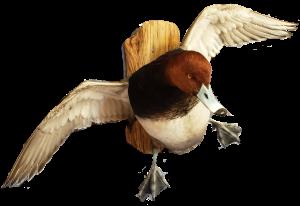 San Antonio Taxidermy Studio | Redhead Duck Mounts | Cypress Slough Taxidermy