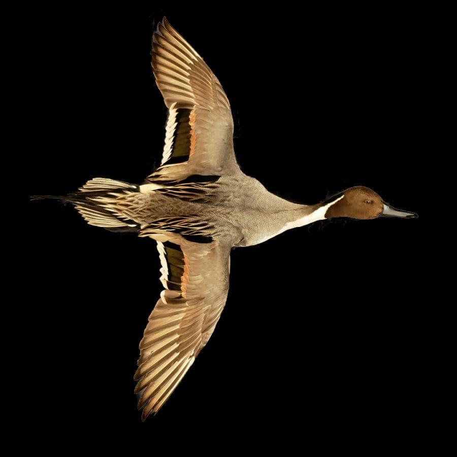 Pintail Mount | Drake Pintail Duck Mounts