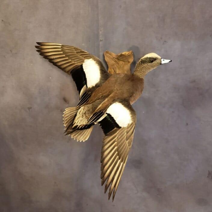 American Wigeon Mount | Texas Waterfowl Taxidermy