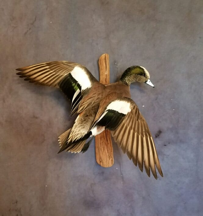 American Wigeon Mounts | Puddle Duck Mounts | Texas Waterfowl Taxidermy