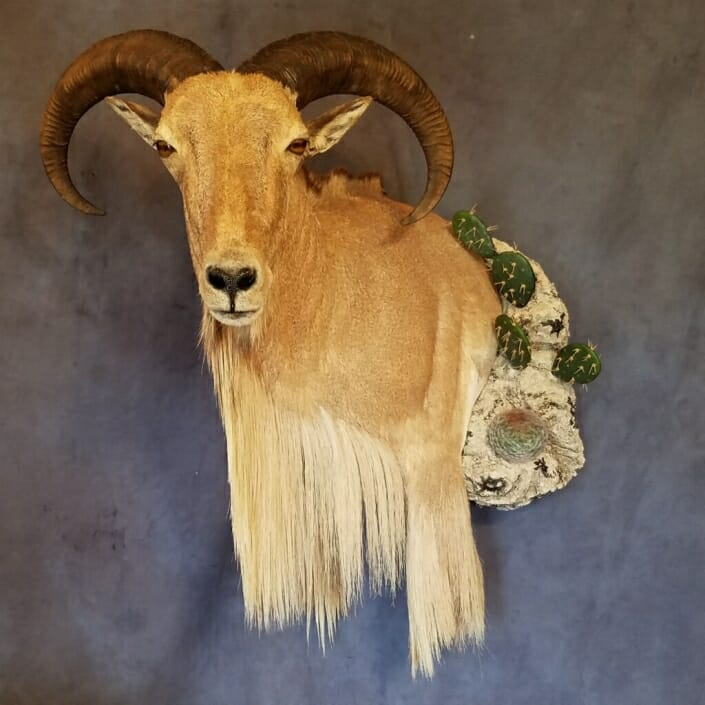 Auodad Shoulder Mount | Texas Exotic Taxidermy | South Texas Taxidermist