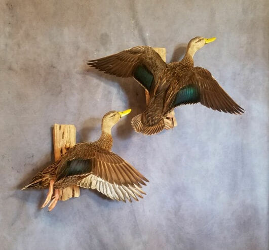 Black Duck Mount | Mottled Duck Mounts | Texas Waterfowl Taxidermy | Puddle Duck Mounts