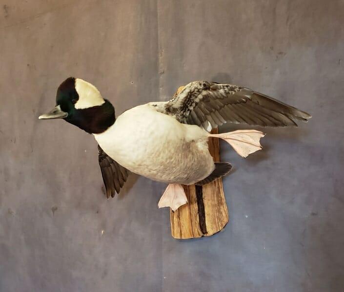 Bufflehead Duck Mounts | Diver Duck Mounts | Texas Waterfowl Taxidermy