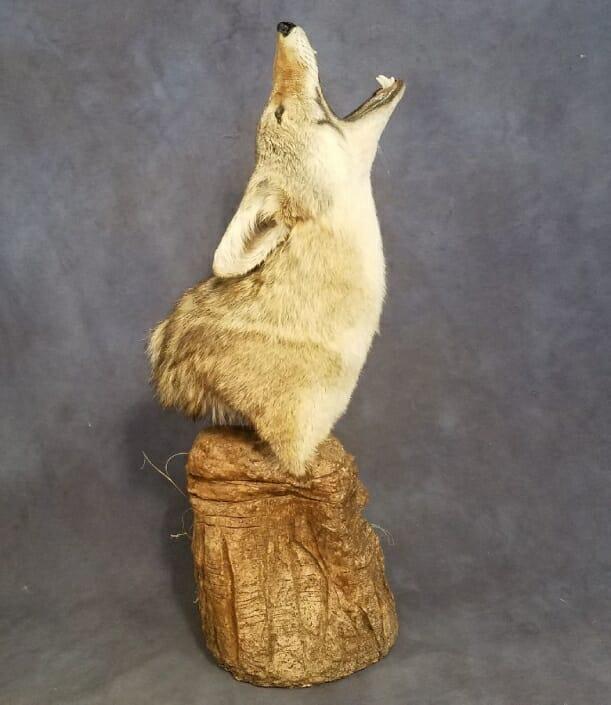 Coyote Shoulder Mount | Predator Taxidermy | Texas Taxidermy