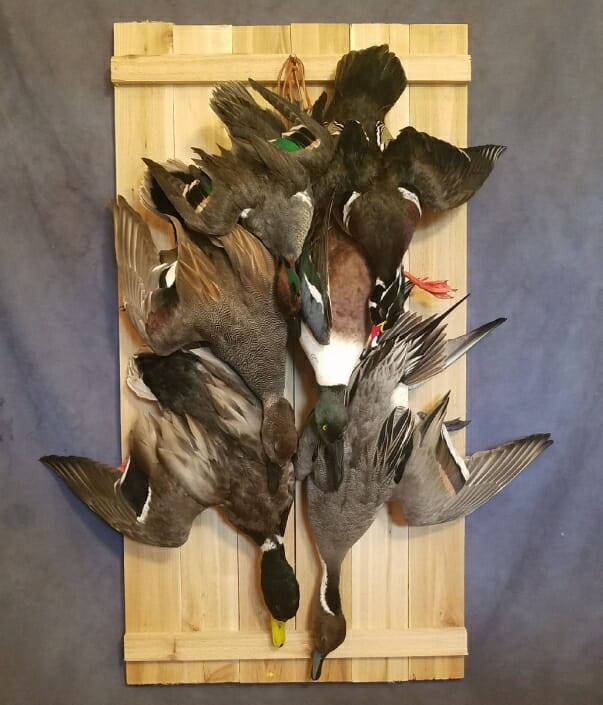 Dead Duck Mount | Texas Waterfowl Taxidermy