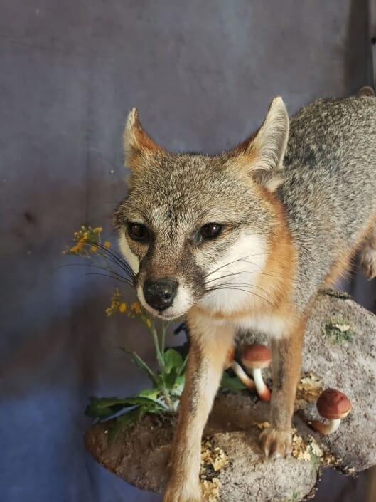 Life Size Fox Mount | Predator Mount | Predator Taxidermy | Texas Taxidermy Studio