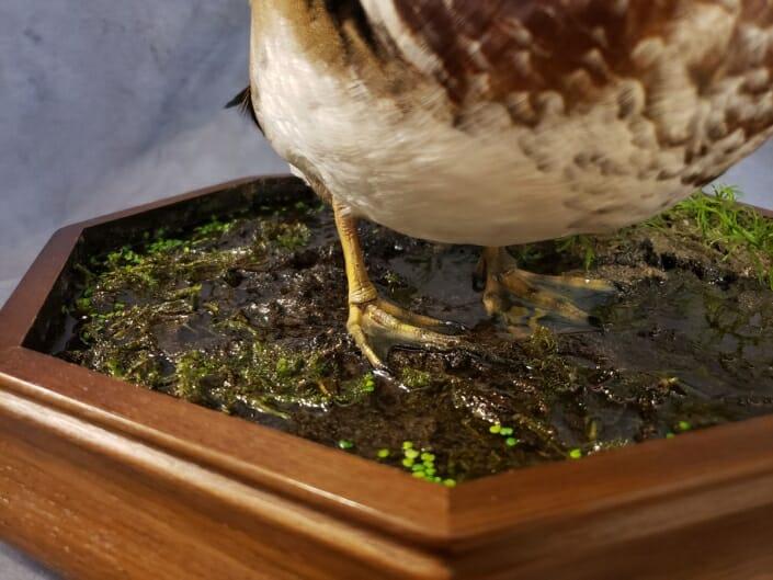 Wood Duck Mount | Texas Waterfowl Taxidermy