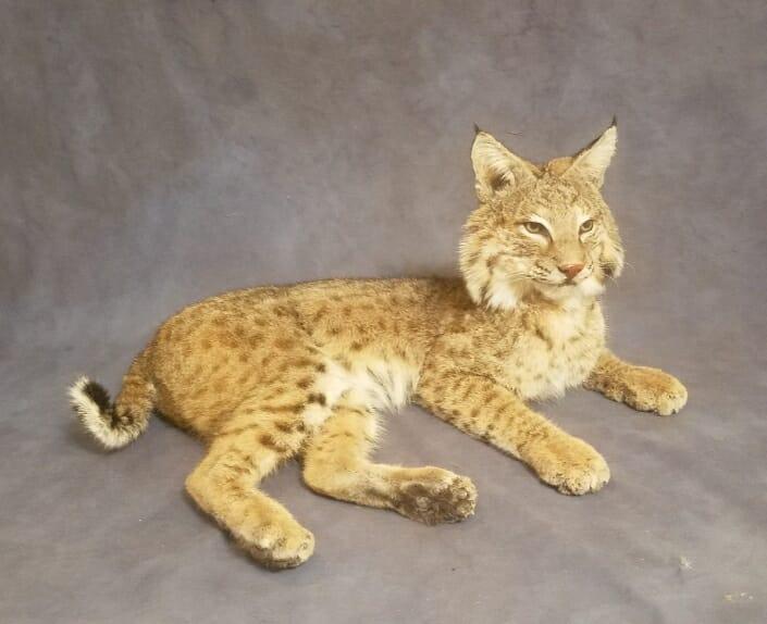Life Size Bobcat Mount | Predator Mounts | Predator Taxidermy | San Antonio Taxidermy Studio