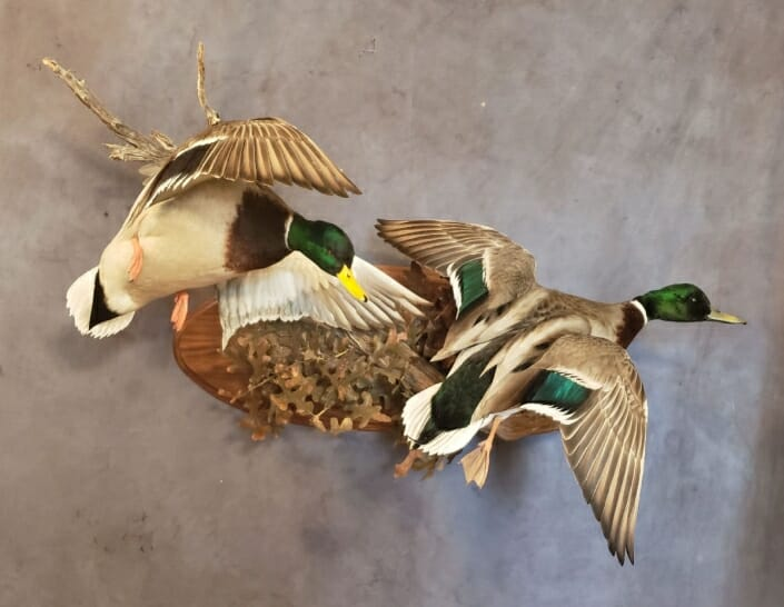 Mallard Duck Mount | Puddle Duck Mounts | Texas Waterfowl Taxidermy