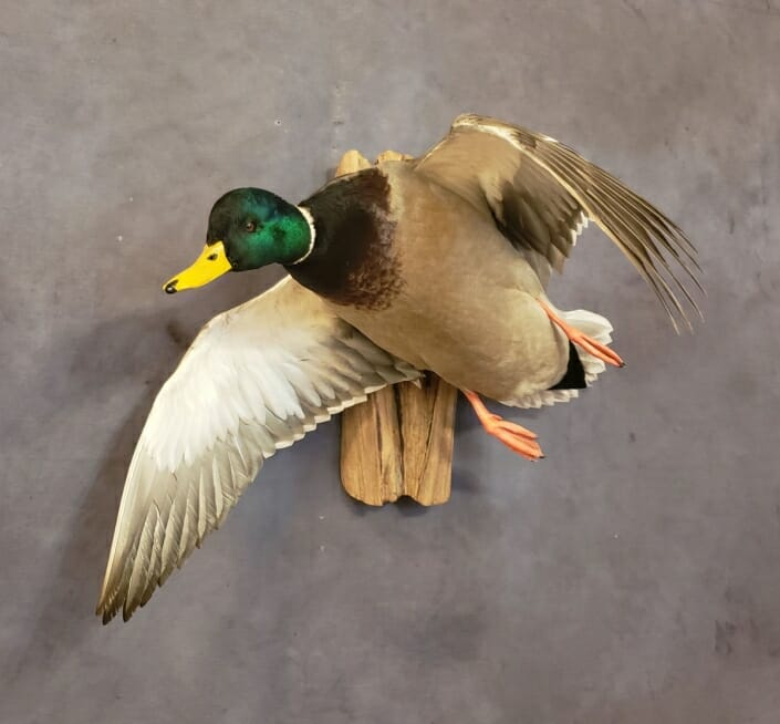 Mallard Duck Mount | Puddle Duck Mounts | Texas Waterfowl Taxidermy