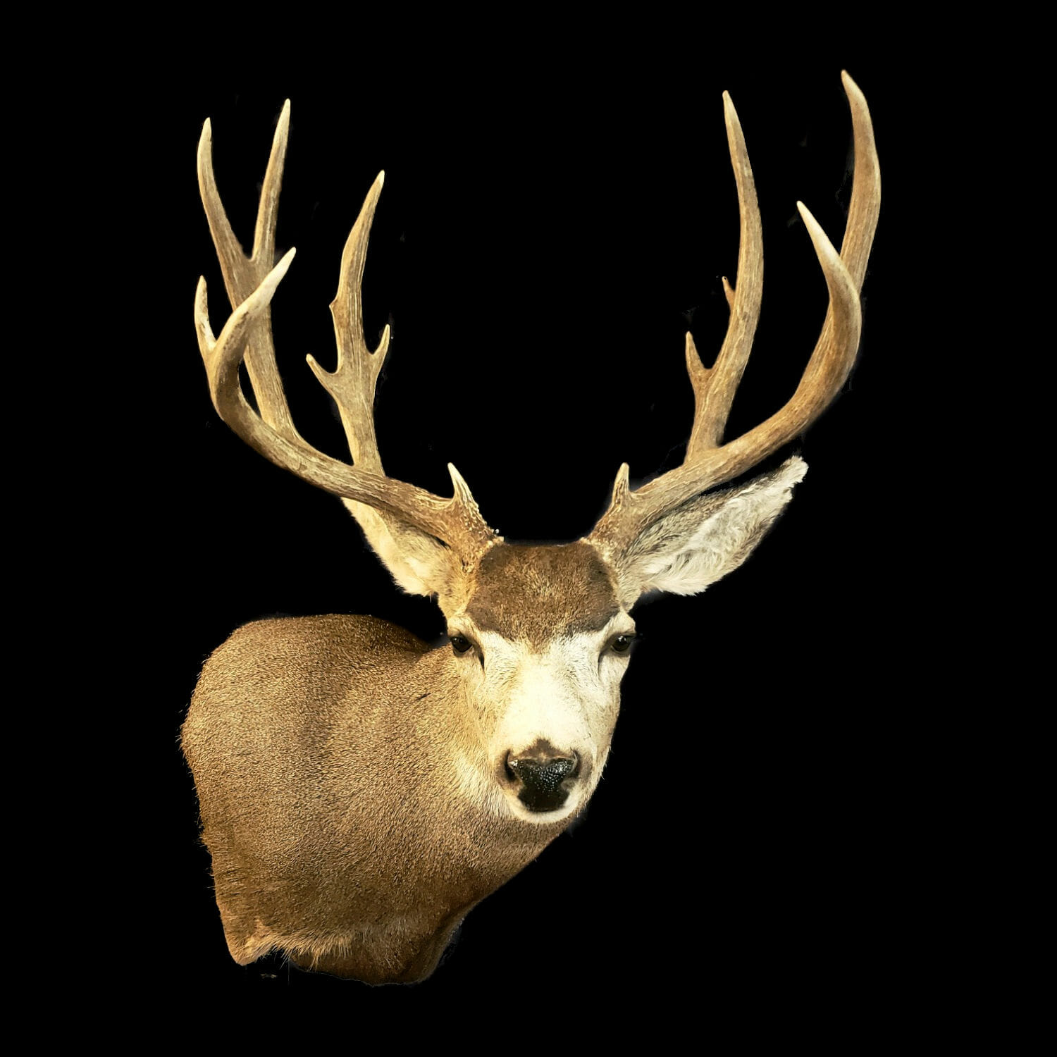 Mule Deer Shoulder Mount Mule Deer Buck Mounts Texas