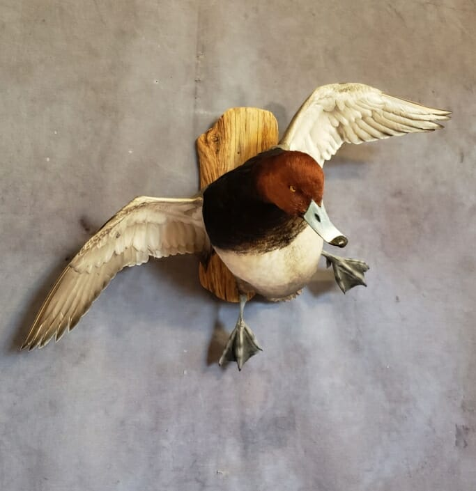 Red Head Duck Mount | Diver Duck Mounts | Texas Waterfowl Taxidermy