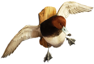 San Antonio Taxidermy Studio | Redhead Duck Mounts | Cypress Slough Taxidermy