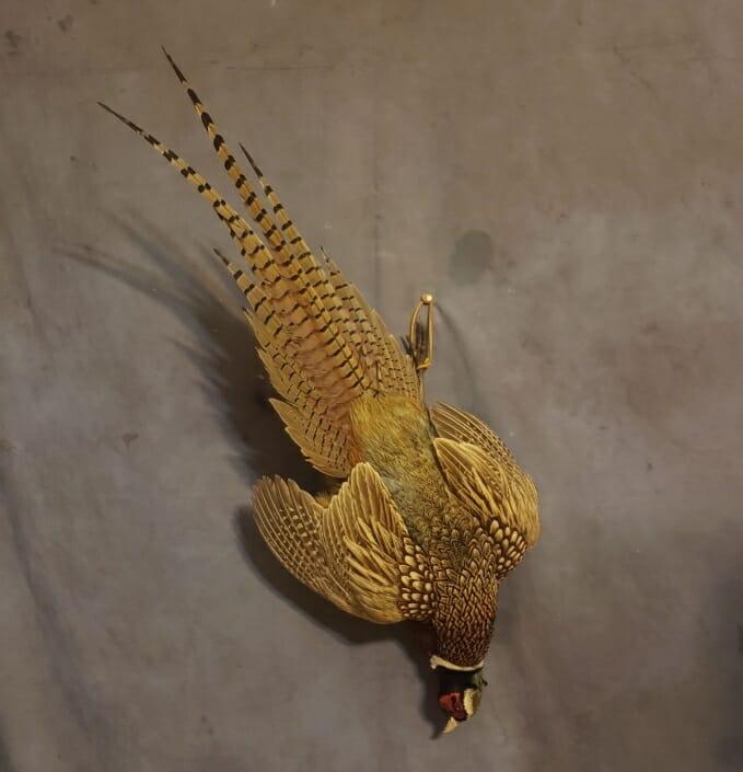 Ring Neck Pheasant Mount | Pheasant Taxidermy | Texas Taxidermy Studio