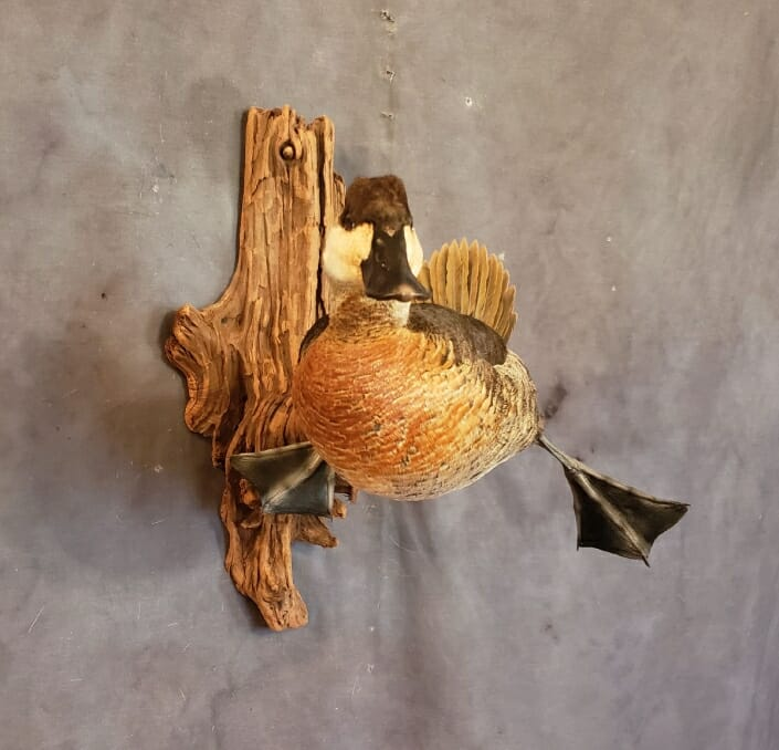 Ruddy Duck Mount | Diver Duck Mounts | Texas Waterfowl Taxidermy