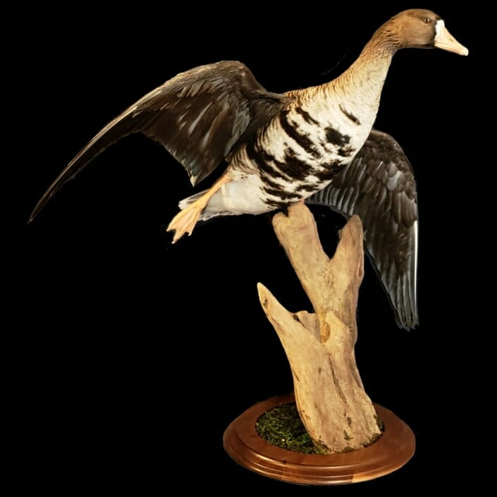 Goose Taxidermy Texas | Goose Mounts | Texas Goose Taxidermist | Texas Waterfowl Taxidermy | Texas Goose Mount Taxidermy