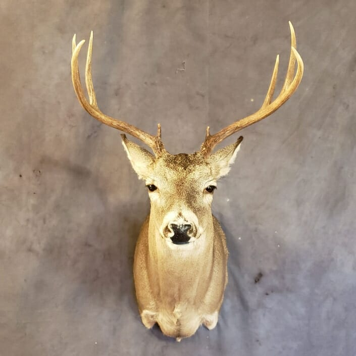 Whitetail Deer Shoulder Mount   Shoulder Mount Taxidermy   South Texas Big Game Taxidermy
