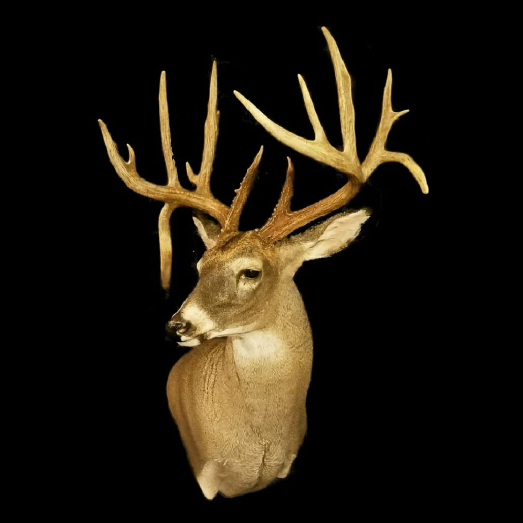 Whitetail Deer Shoulder Mounts | Big Game Taxidermy