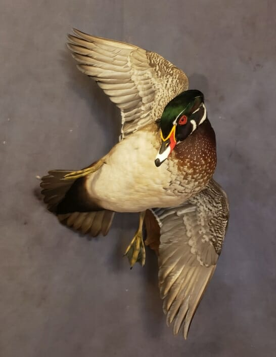 Wood Duck Mount | Puddle Duck Mounts | Texas Waterfowl Taxidermy