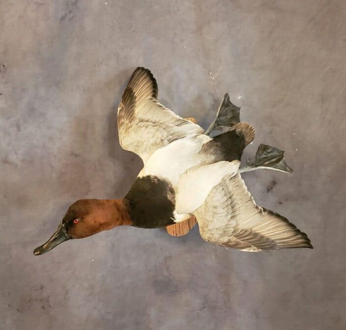 Canvasback Duck Mounts | Canvasback Drake Mounts | Duck