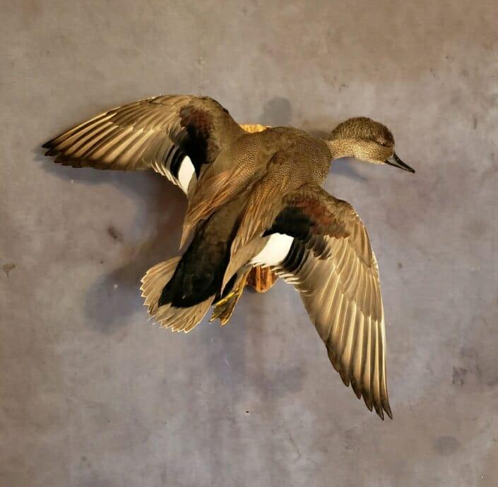 Flying Gadwall Drake Mount | Gadwall Duck Mounts