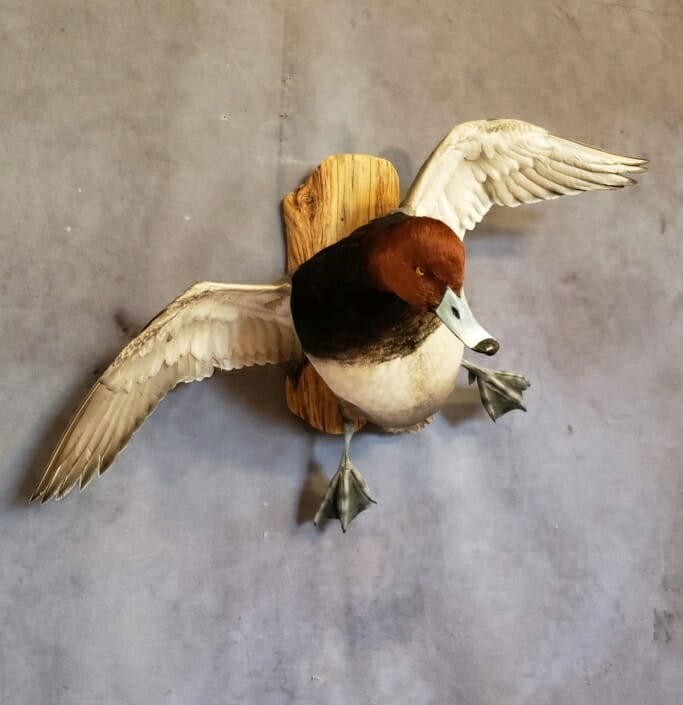 Flying Redhead Duck Mount | Drake Red Head Duck Mount
