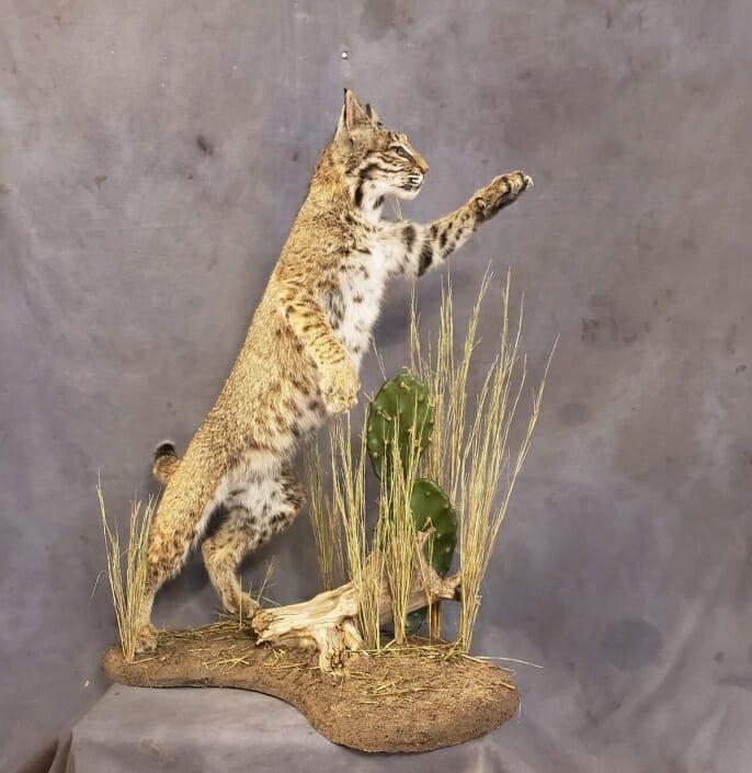Life Size Bobcat Mount