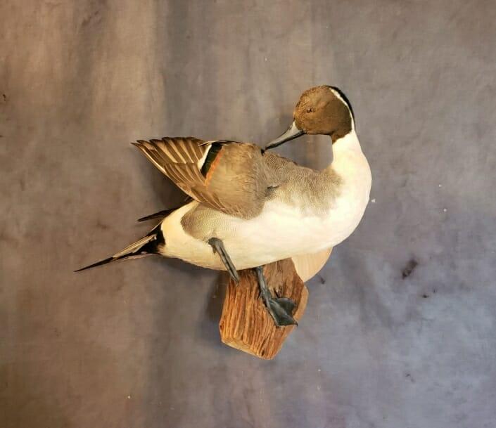 Standing Pintail Duck Mount | Drake Pintail Duck Mount