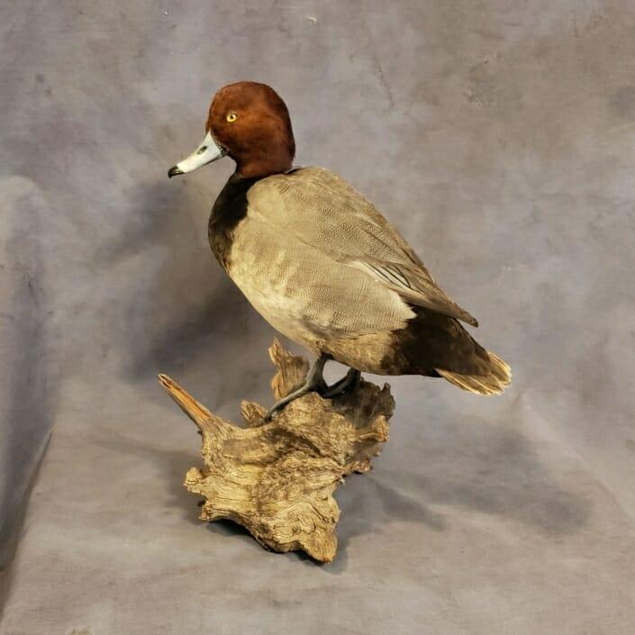 Redhead Duck Mount | Standing Redhead Duck Mounts