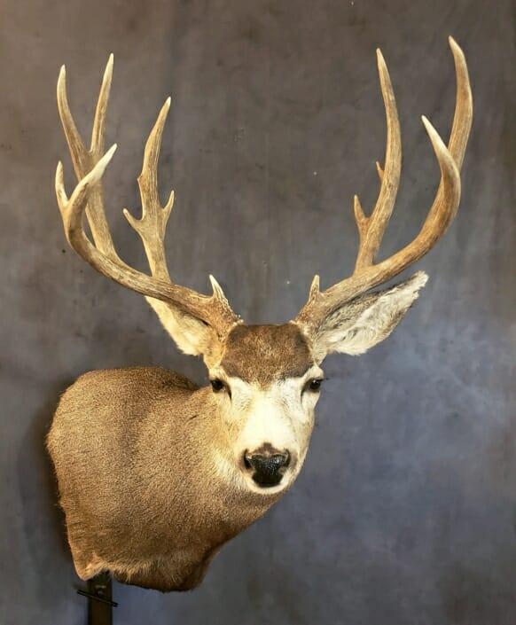 Mule Deer Shoulder Mount | Trophy Mule Deer Mount
