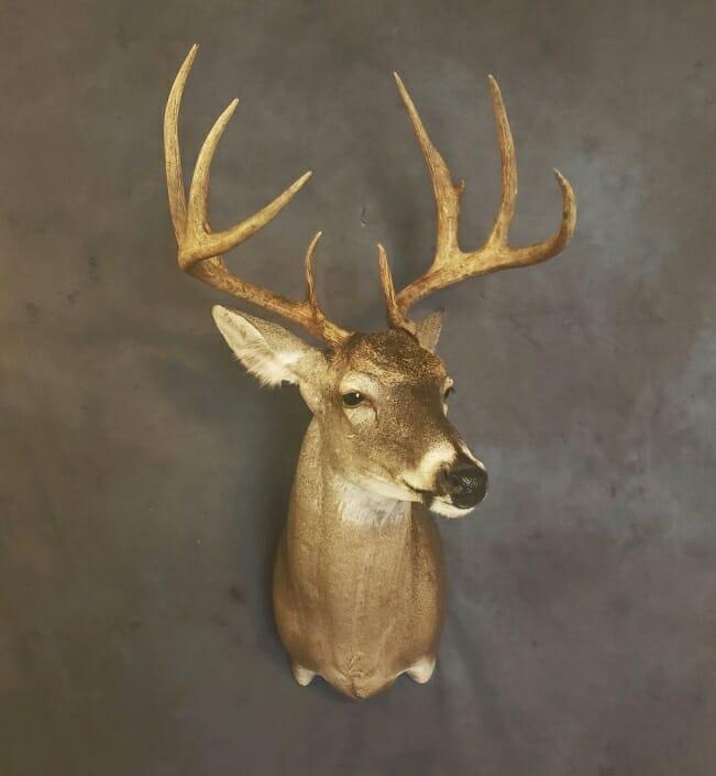 Whitetail Buck Mount | Whitetail Deer Shoulder Mount | Trophy Whitetail Mounts