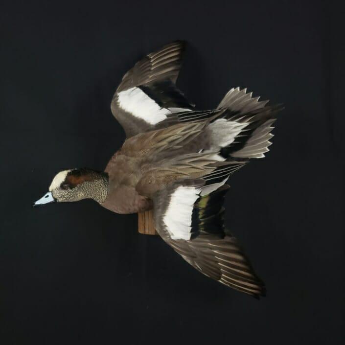 American Wigeon Mount