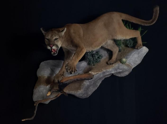 Mountain Lion Mount | Life Size Mountain Lion Taxidermy