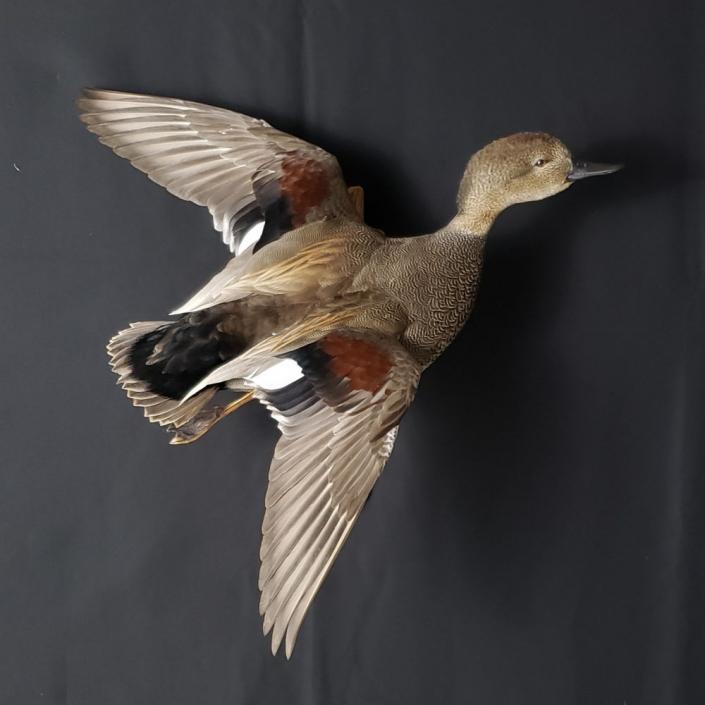 Gadwall Duck Mounts   Flying Gadwall Mount