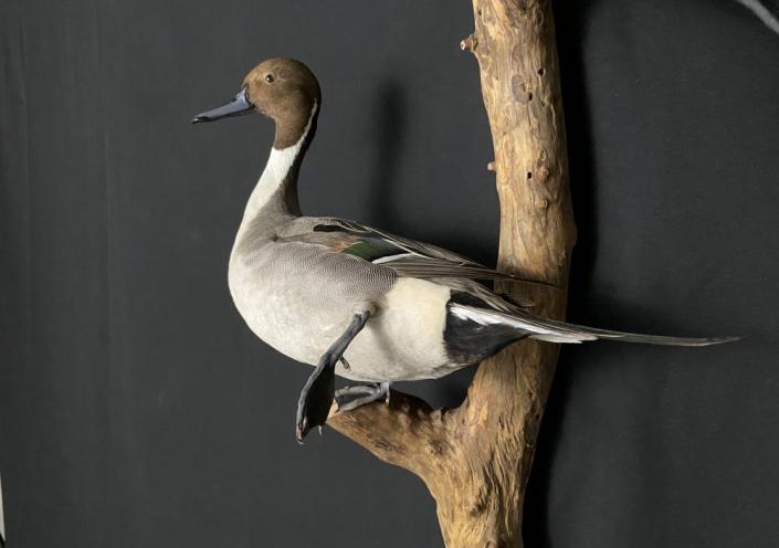 Drake Pintail Mount   Double Pintail Duck Mount
