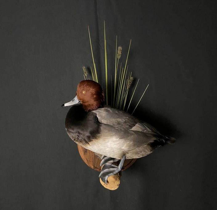 Drake Redhead Duck Mount | Cypress Slough Taxidermy
