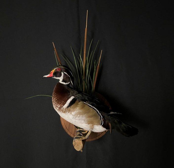 Woodduck Drake Mount   Flying Wood Duck Mount   Cypress Slough Taxidermy